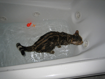 Bengal cat taking a bath